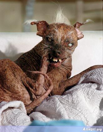dog - Ugliest Dog in the World